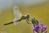 Sympetrum depressiusculum female