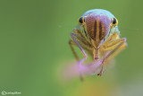Cicadella viridis