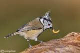 Cincia dal ciuffo - Crested tit - (Lophophanes cristatus)