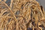 Migliarino di palude -Reed Bunting (Emberiza schoeniclus)