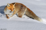 Volpe-Red Fox  (Vulpes vulpes)