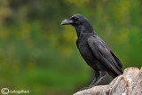 Corvo imperiale- Common Raven (Corvus corax)