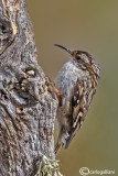 Rampichino -Short-toed Treecreeper (Certhia brachydactyla)