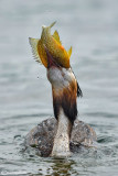 Svasso Maggiore-Great Crested Grebe (Podiceps cristatus)