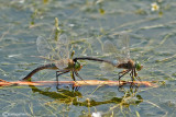 Anax parthenope mating
