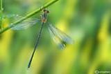 Chalcolestes viridis male teneral