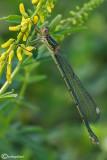 Chalcolestes viridis female teneral