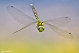 Aeshnidae - Gomphidae