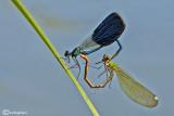 Calopteryx splendens mating
