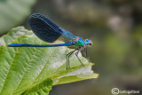 Calopteryx  xanthostoma male