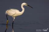 Garzetta- Little Egret (Egretta garzetta)