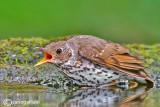 Tordo bottaccio - Song Thrush (Turdus philomelos )