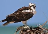 osprey, marco island