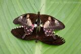 Mating Common Mormon Butterflies