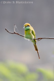 Little Green Bee Eater