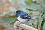 Oriental Magpie-Robin Male