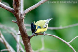 Indian Yellow Tit (Adult)