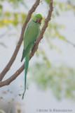 Rose Ringed Parakeet (Male)