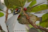 Coppersmith Barbet / Crimson-breasted Barbet