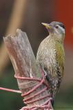 Streak-throated Woodpecker Female
