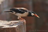 Pied Myna / Asian Pied Starling