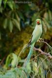 Rose-ringed Parakeet (Male)