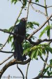 Asian Koel (Male)