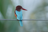 White-throated King Fisher