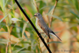 Red-breasred Flycatcher