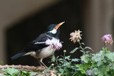 Asian Pies Starling (Pied Myna)