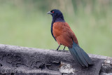 Greater coucal (Crow pheasant)