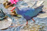 Purple Moorhen/Purple Swamphen