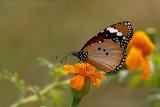 Plain Tiger/African Monarch