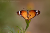 Portfolio: Butterflies