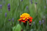 Marigold & Lavender