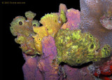 Frogfish Threesome