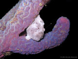 Frogfish Luring