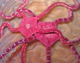 Ruby Brittle Stars