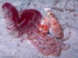 White Spotted Octopus