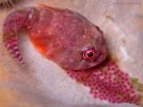 Clingfish w/Eggs