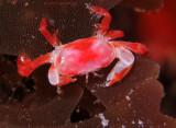 Orange Pea Crab