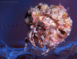Pink-eyed Hermit