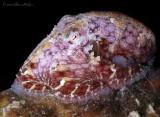Two Spot Octopus