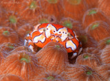 Gaudy Clown Crab