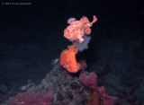 Frogfish Spawning