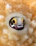 Blenny in Coral