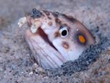 Goldspotted Eel