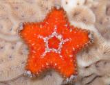 Mini Sea Star