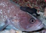 Soapfish & Brotula