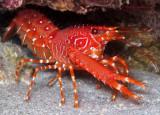 Lobster w/Eggs